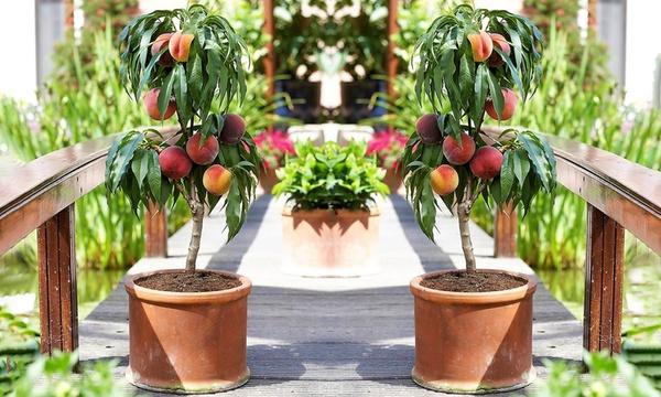 one or two prunus persica dwarf peach trees