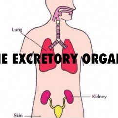 Excretory System Diagram Basic How A Smoker Works The By Lucy Murphy