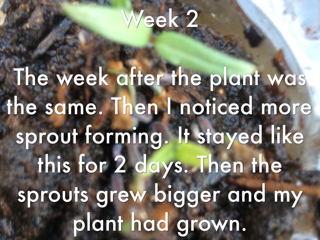 Life Cycle Of A Tomato Plant By Julia Perez