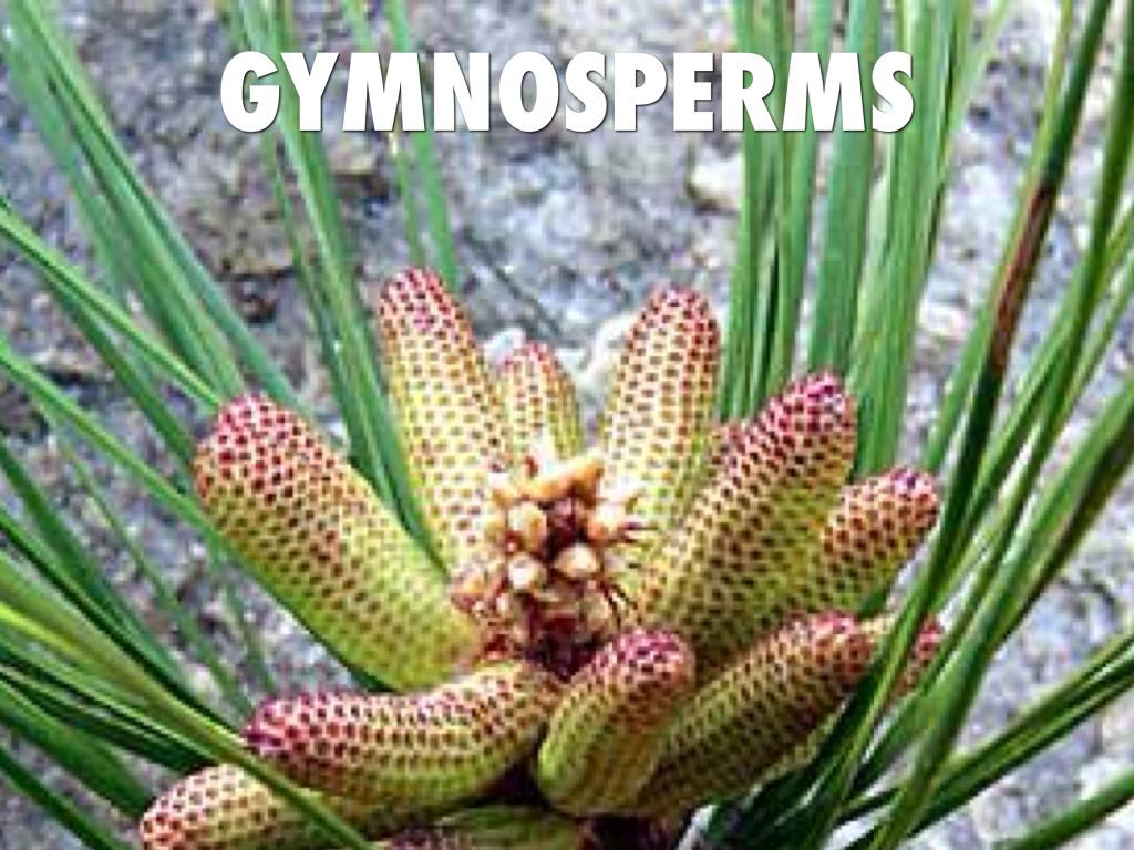 Angiosperms And Gymnosperms By Adam Higgins