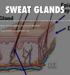 sweat glands [ 1024 x 768 Pixel ]
