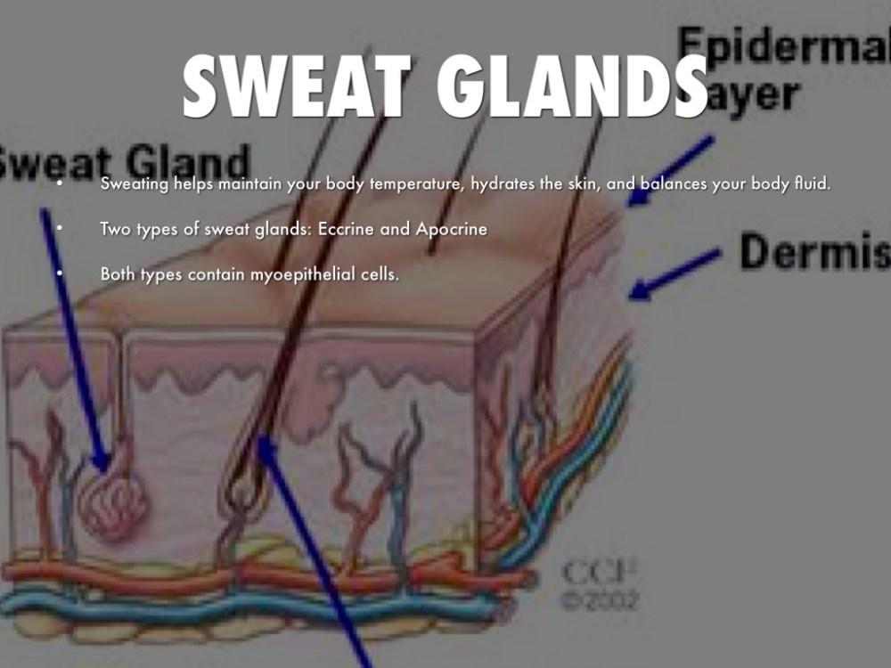 medium resolution of sweat glands