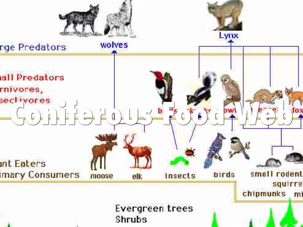 deciduous forest food chain diagram ignition coil ballast resistor wiring coniferous animals web