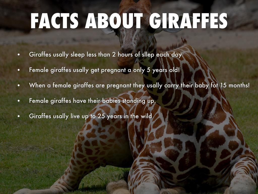 Giraffes By Sierrah Dominguez