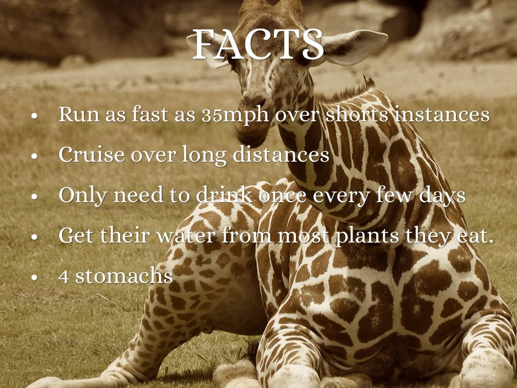 Giraffe By Nicole Ferrell