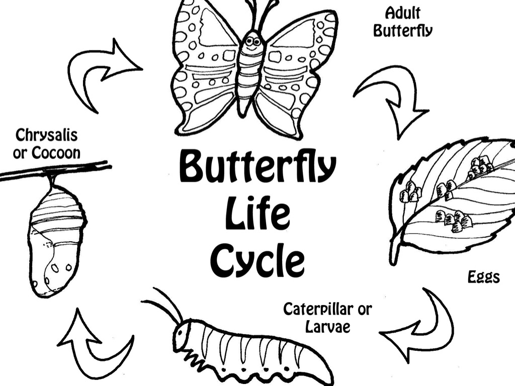 butterfly anf d lily coloring page free printable butterfly Amaryllis Life Cycle life cycle of a butterfly by abbie hopen