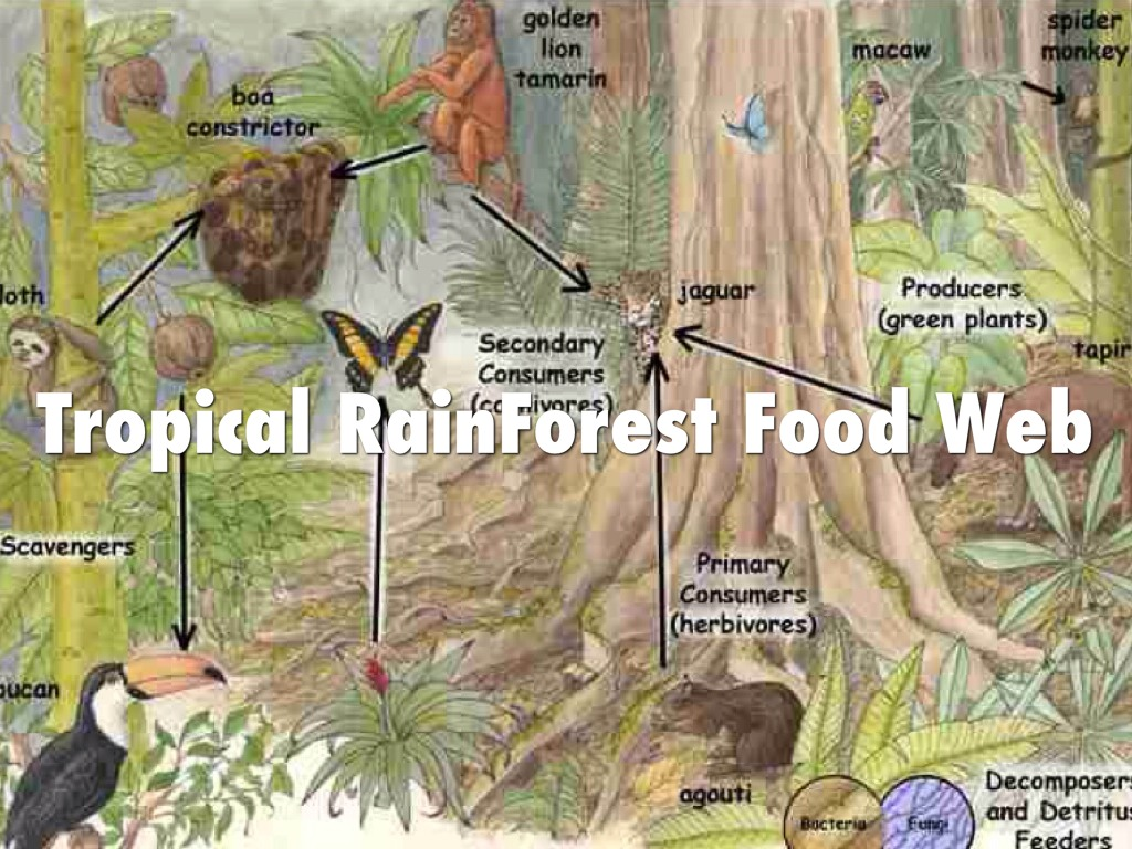 diagram of a tropical forest mitsubishi l200 stereo wiring food web for the rainforest biome ideas