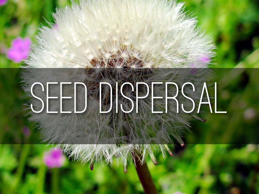 Seed Dispersal By Justin Grothe