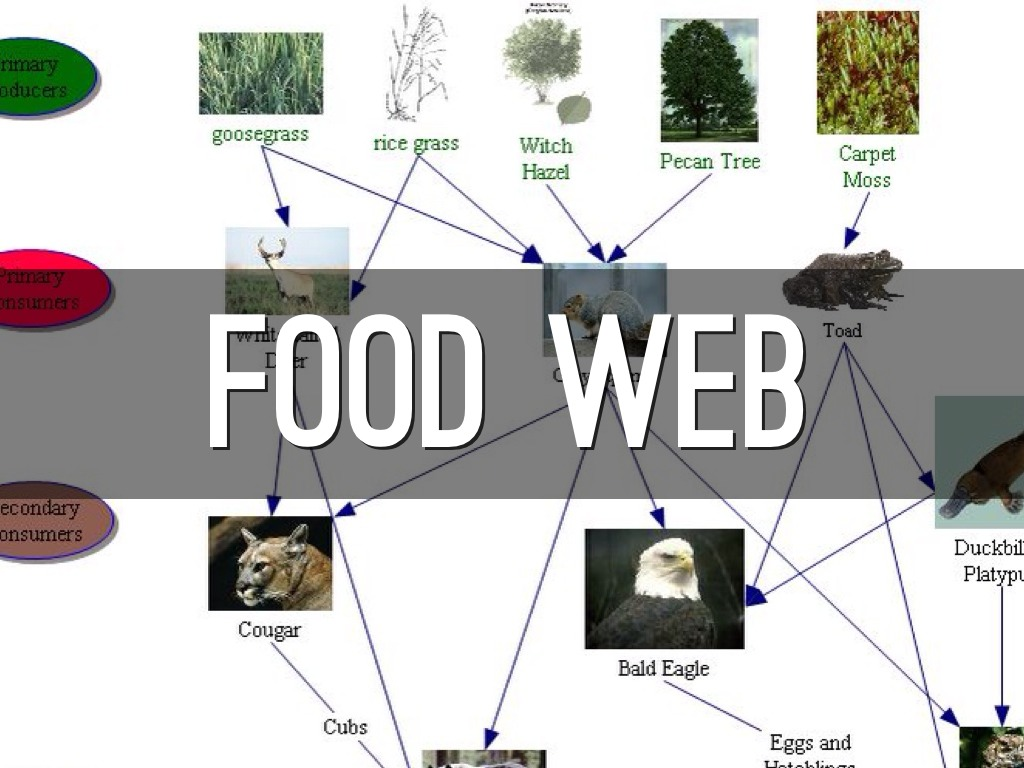 temperate forest food web diagram 1998 buick lesabre belt deciduous chain examples pictures to pin on