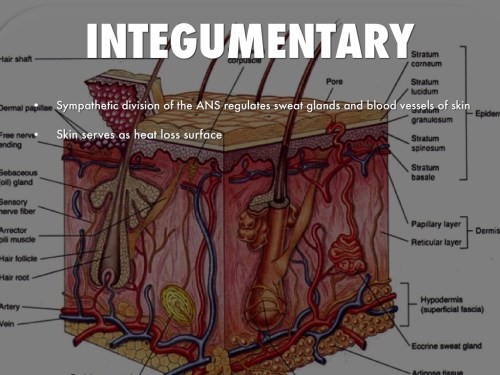 small resolution of integumentary and nervous system