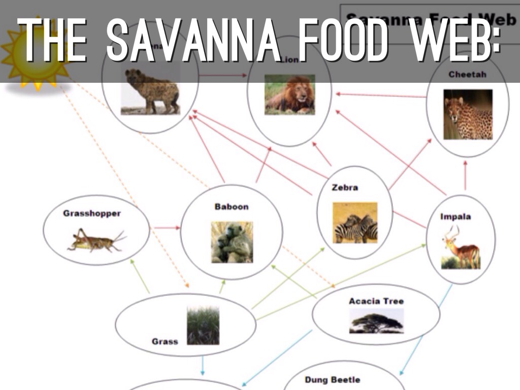 savanna food chain diagram golf cart battery wiring savannah web ideas