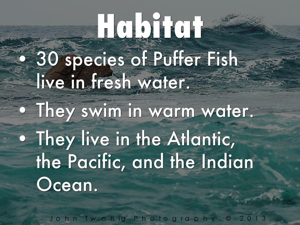 Puffer Fish By Jvukmarkaj