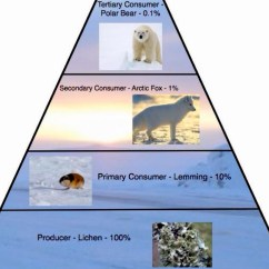 Polar Bear Fur Diagram Active Directory Sample Arctic Fox By Kim Sciandra