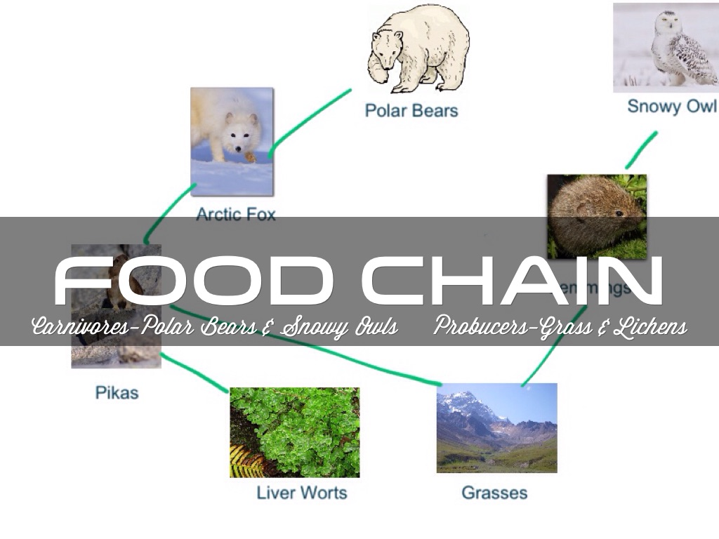 arctic fox food chain diagram 2001 dodge ram 3500 wiring tundra chains
