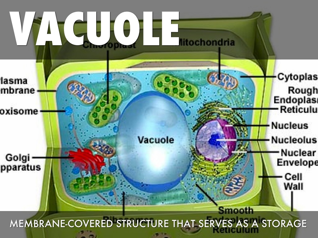 plant cell diagram vacuole er for student information system parts by marianah davis