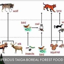 Taiga Food Web Diagram Perko Dual Battery Switch Wiring Coniferous Forest Chain