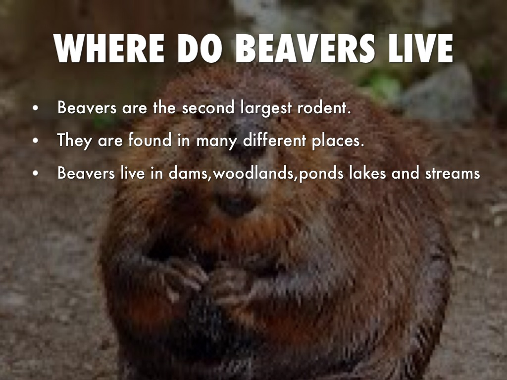 Beaver by Jennifer Brinn