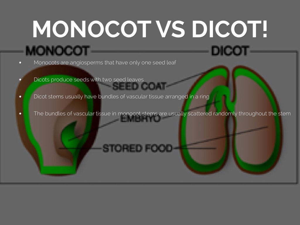 monocot seed diagram fujitsu ac wiring science project by caitlin clark