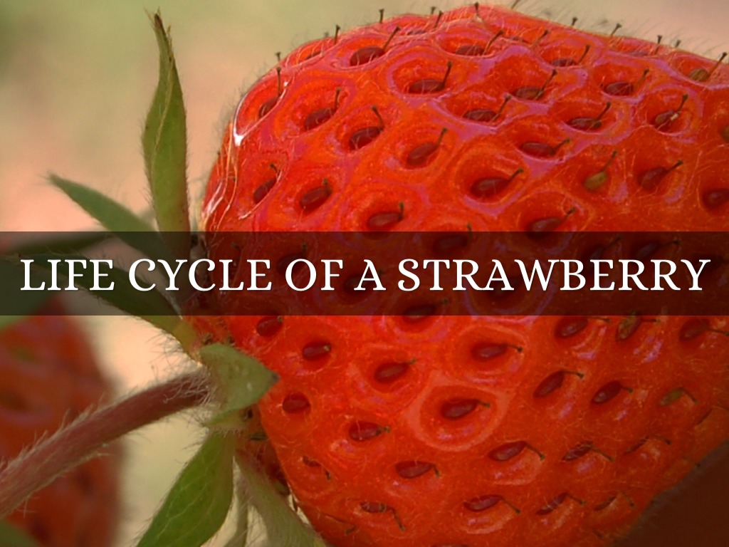diagram of the life cycle strawberry 3 phase dol wiring a by amy ard