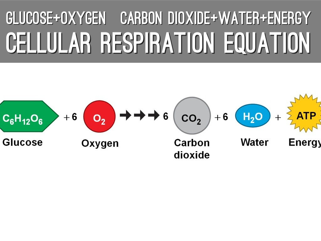 Find The Chemical Equations For Both Photosynthesis And Cellular Respiration