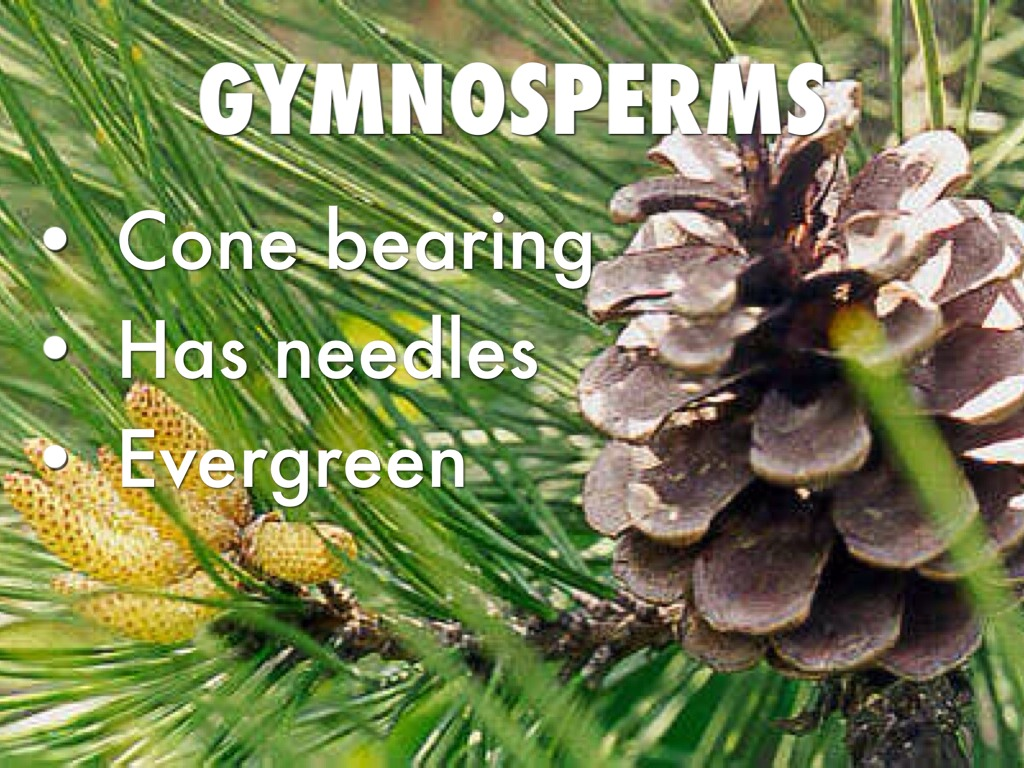 Angiosperms And Gymnosperms By Kaitlin Jones