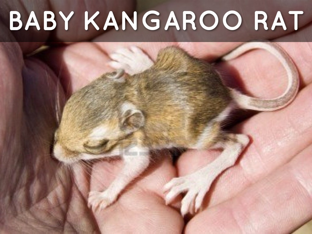 rats mice