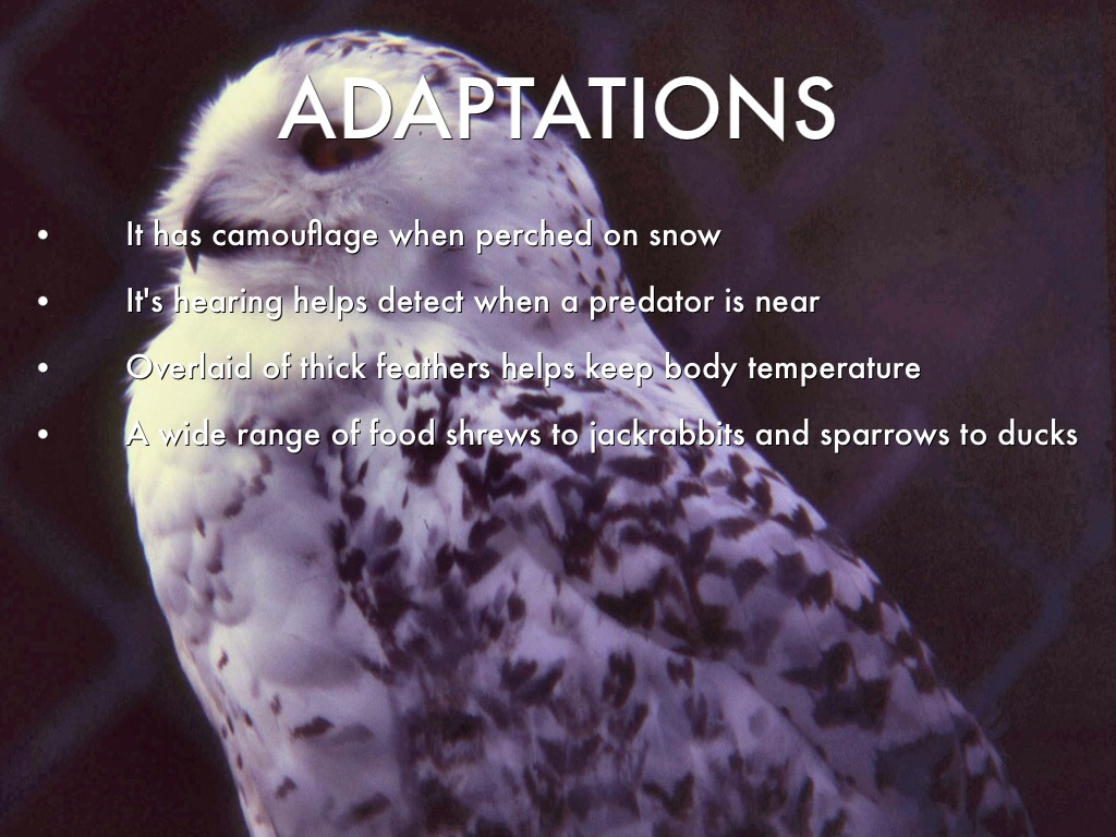 snowy owl adaptations diagram bottlenose dolphin the by krista martinez