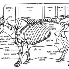 Cow Skeleton Bones Diagram Redarc Dual Battery System Wiring The Skeletal Of A By Tony Smith