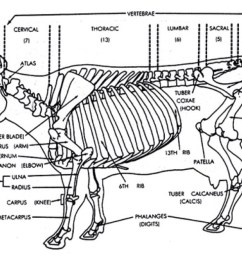 cow skeletal diagram wiring diagram for you cattle vaccine injection site cattle bone diagram [ 1024 x 768 Pixel ]