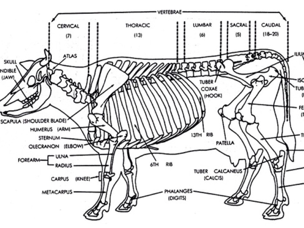 labelled diagram of a cow corporate building rem koolhaas the skeletal system by tony smith