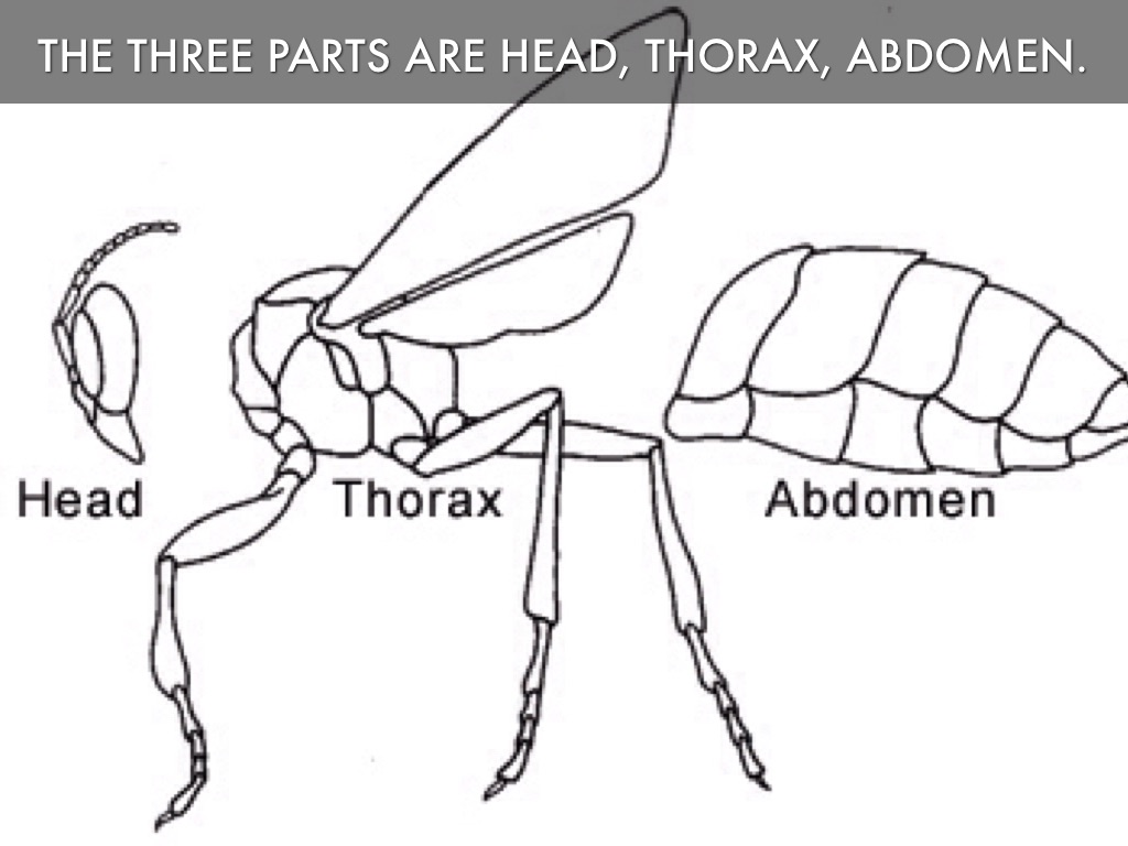 Head Thorax Abdomen Pictures To Pin
