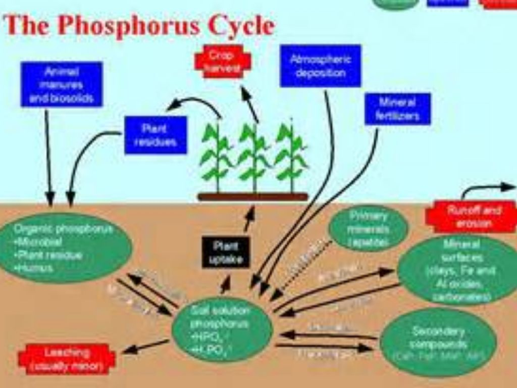 The Phosphorus Cycle By Fuoco136