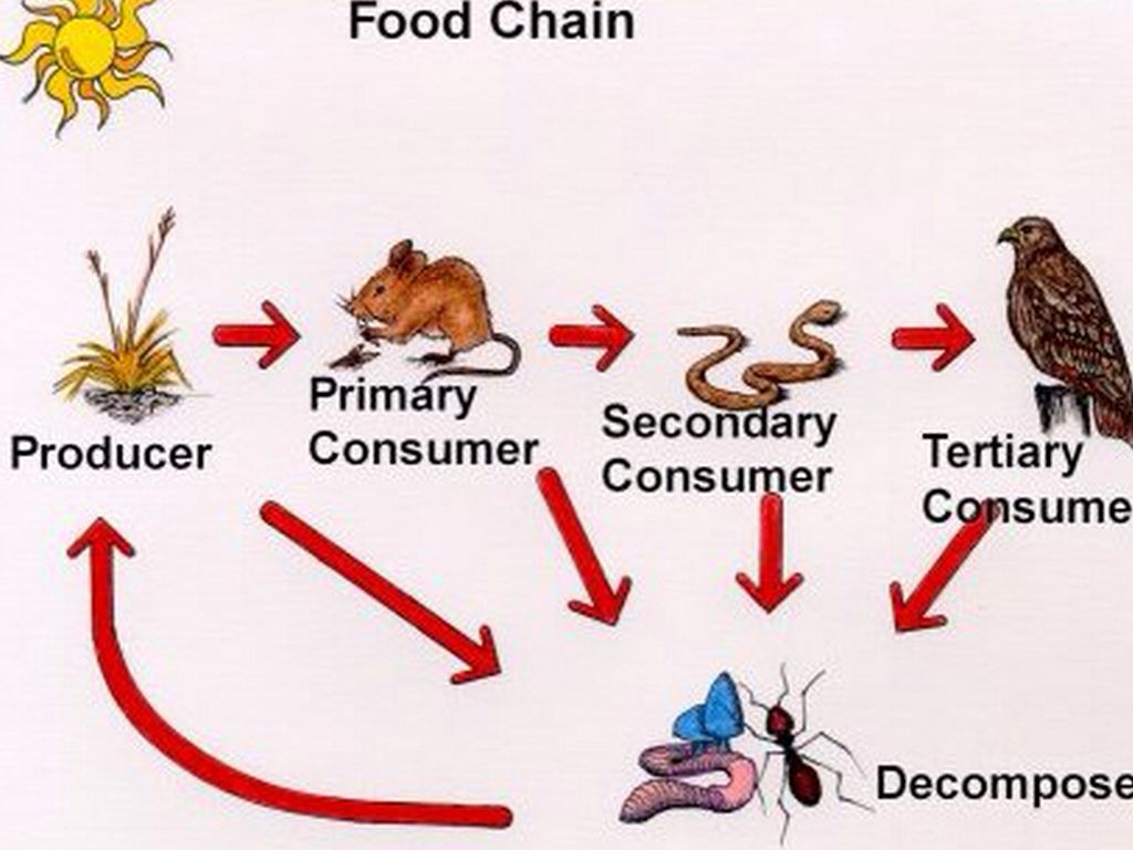 savanna food chain diagram photocell sensor circuit chains by marybeth mineo