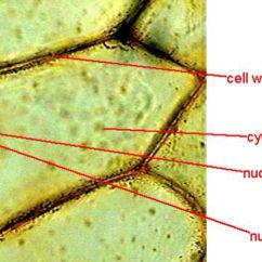 7th Grade Cell Diagram Light Bar Cells Under A Microscope By Jaimarie Nelson