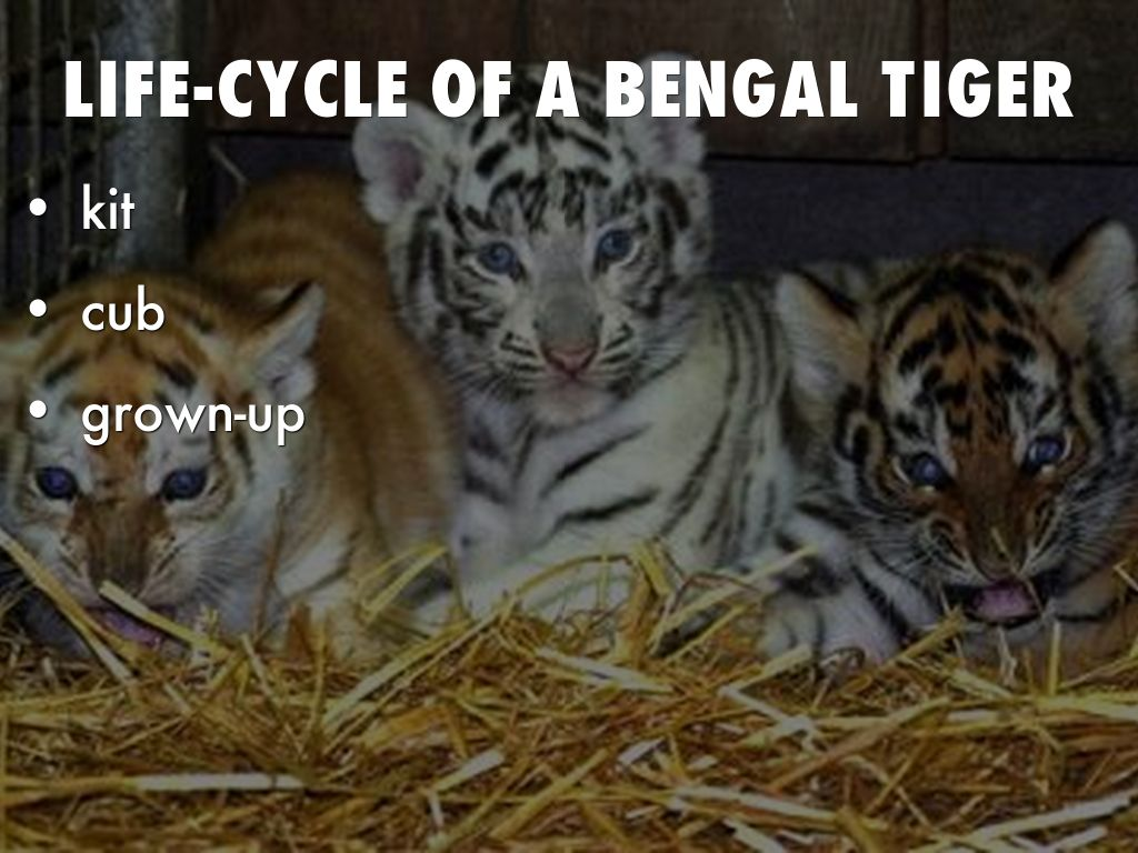 tiger shark life cycle diagram aprilia rs 125 wiring bengal stages pictures to pin on