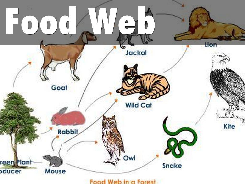 deciduous forest diagram 94 ford explorer radio wiring northwestern coniferous biome food web