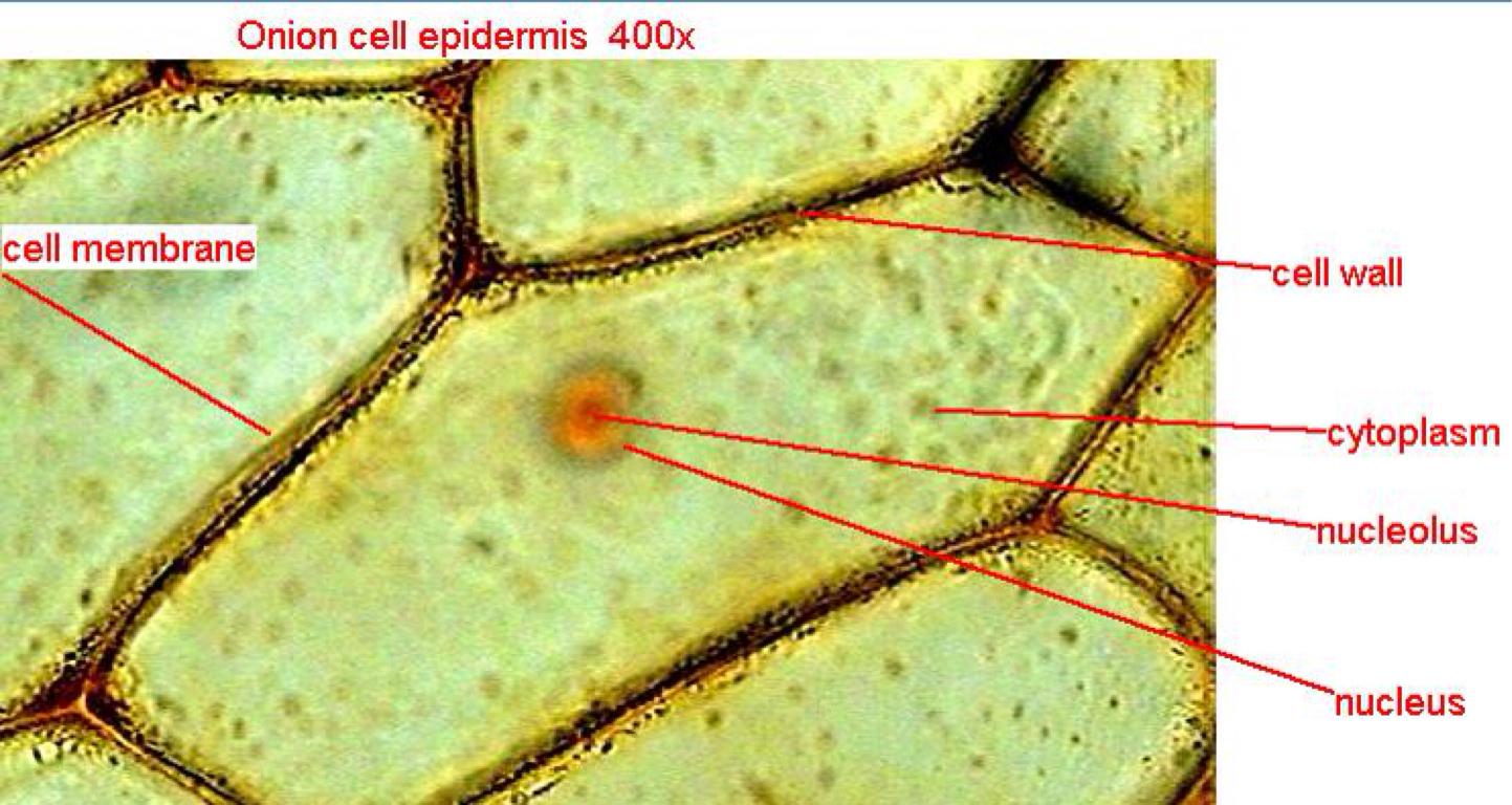 elodea leaf cell diagram haulmark trailer wiring label of cells manual e books