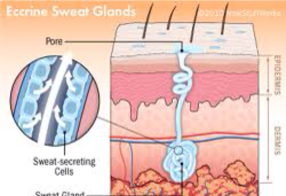 medium resolution of diagram of sweat gland valve