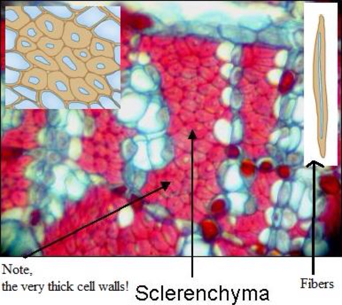 hight resolution of sclerenchyma cell diagram labeled
