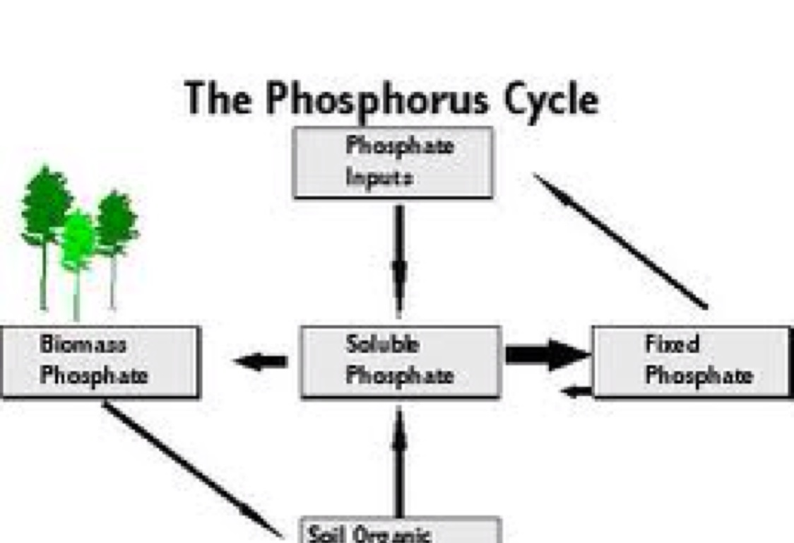 hight resolution of phosphorus cycle easy diagram
