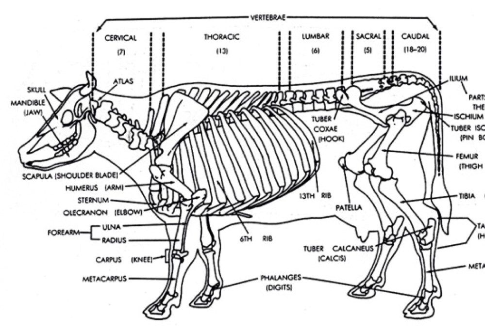 medium resolution of the skeletal system of a cow by tony smith diagram of cow bones