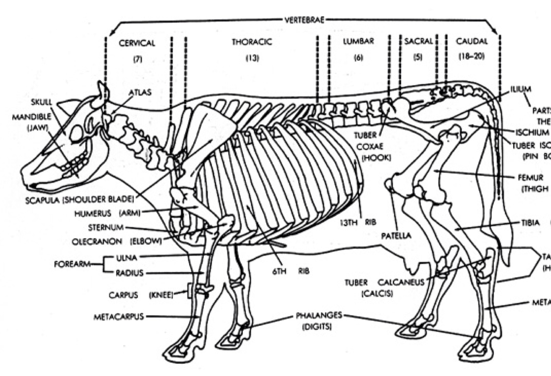 hight resolution of the skeletal system of a cow by tony smith diagram of cow bones