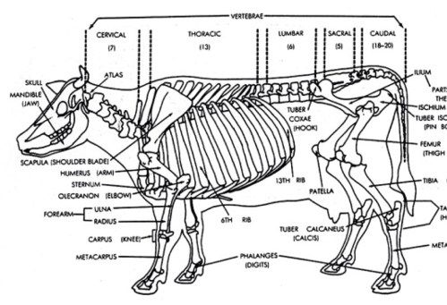 small resolution of the skeletal system of a cow by tony smith diagram of cow bones