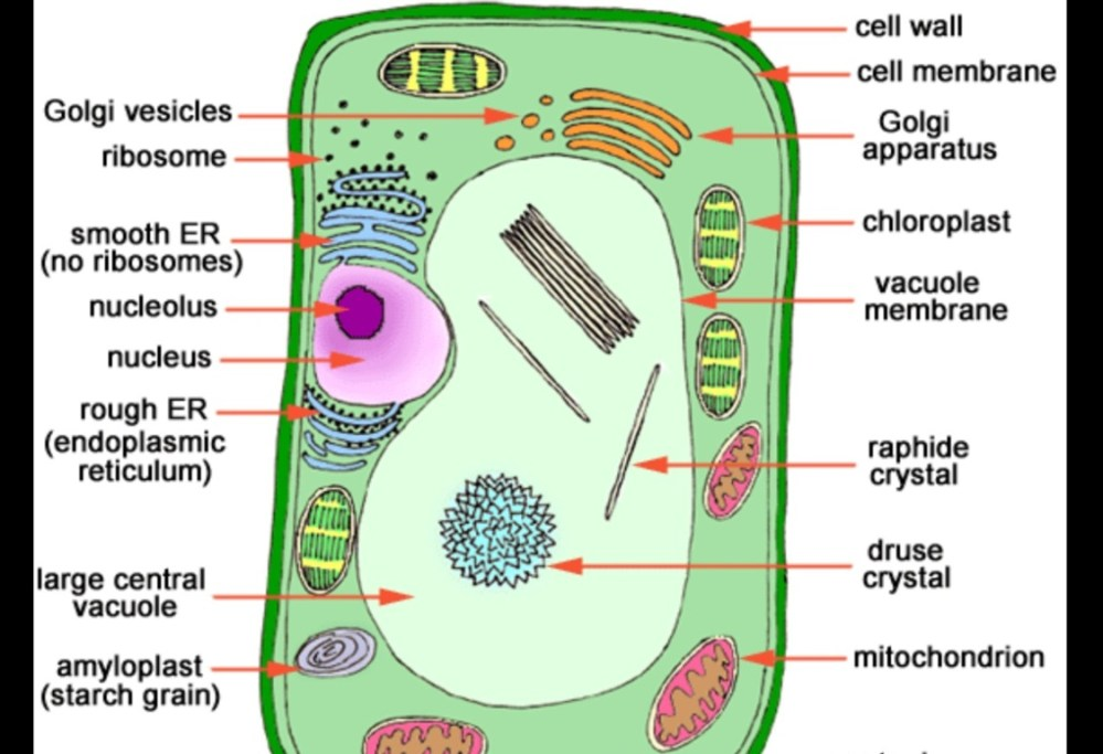 medium resolution of 3d cell model cell diagram with labels 3d printable plant plant cell 3d cell model cell diagram with labels 3d printable plant plant cell