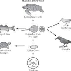 Ocean Food Chain Diagram Tracker Pro Guide Wiring Green Sea Turtles Web Foodfash Co