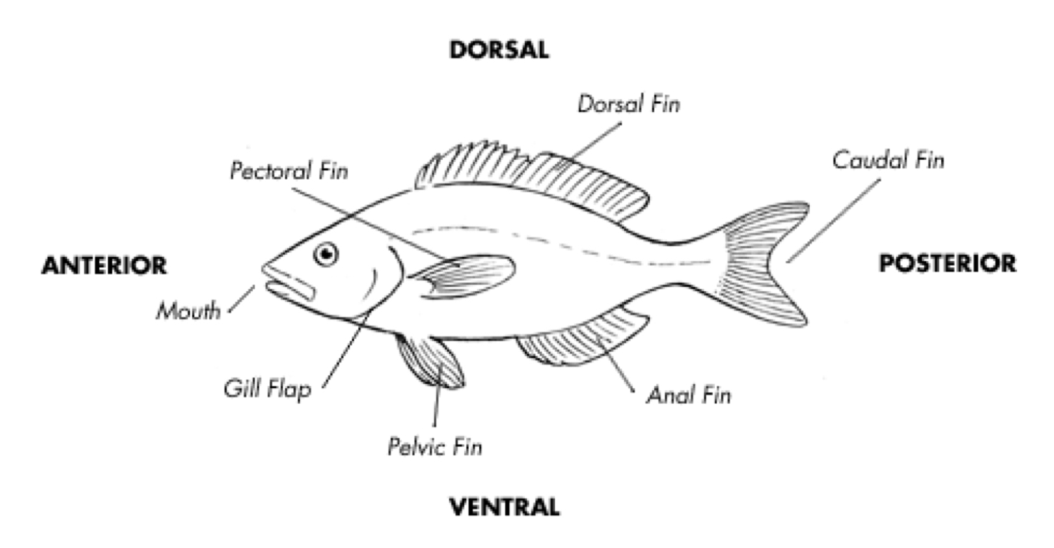 hight resolution of part of a fish diagram