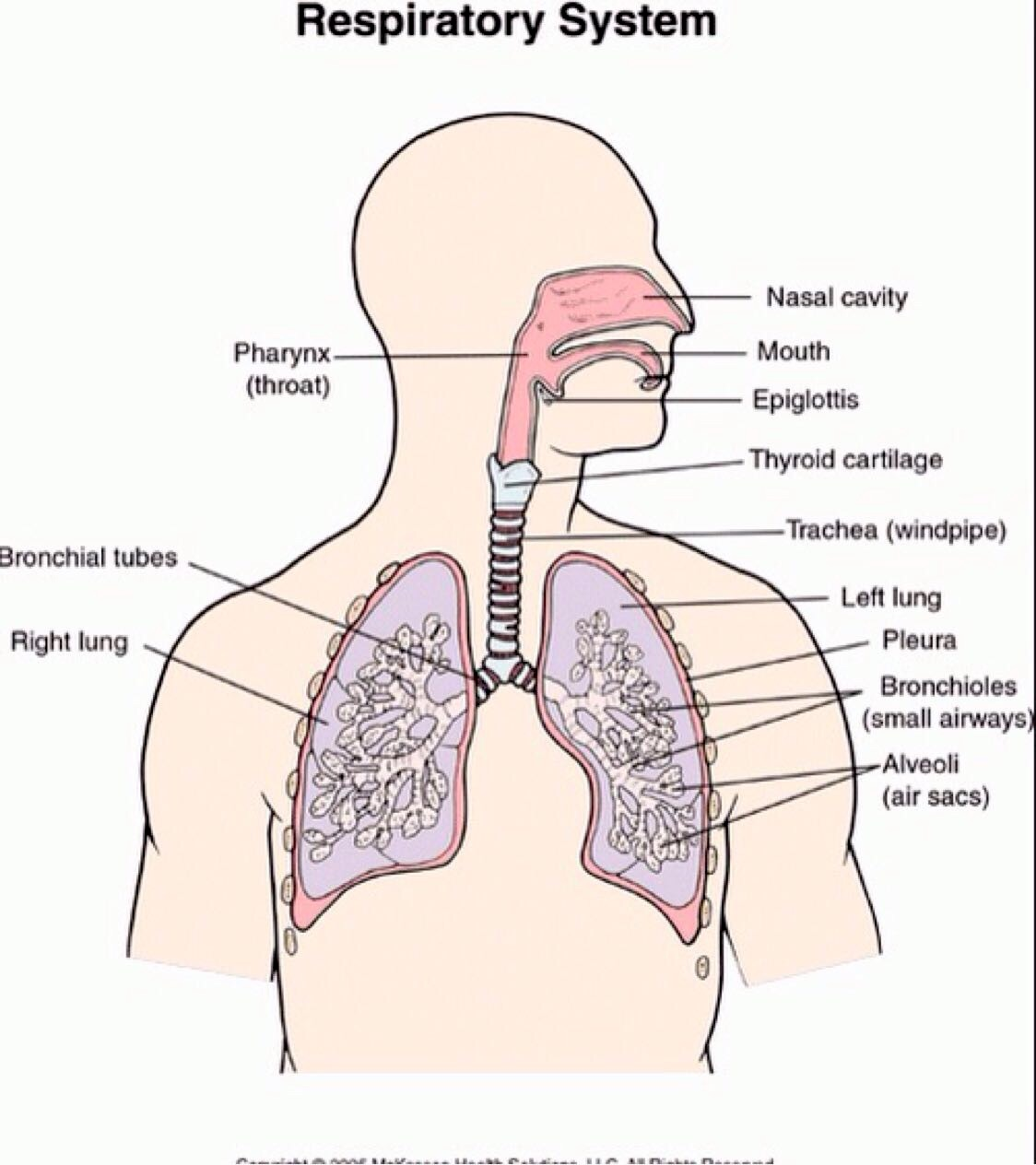 hight resolution of diagram of respiratory system nose