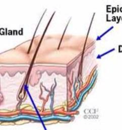 diagram of sweat gland valve [ 1124 x 768 Pixel ]