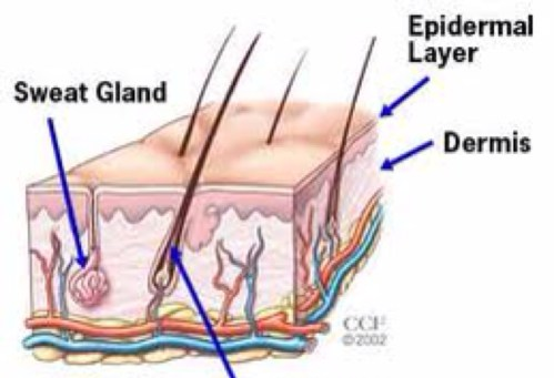 small resolution of diagram of sweat gland valve