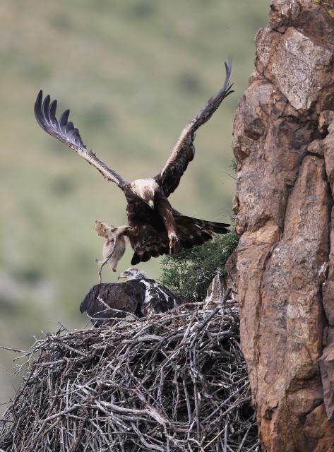 golden eagle s baby